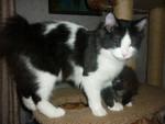 Питомник предлагает подрощенного котенка курильского бобтейла.