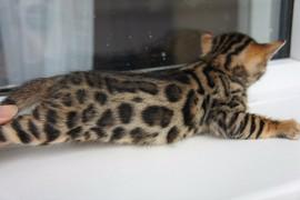 Бенгальские котята леопардового окраса 5