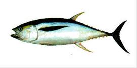 Свежемороженная рыба, макрель, лангустины и креветки из Южной Ам