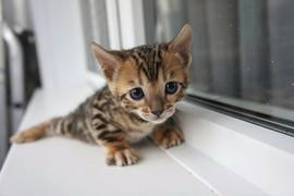 Бенгальские котята леопардового окраса 4