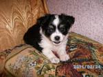 Продаются щенки Чихуахуа маленькой собачки Аргентинской породы