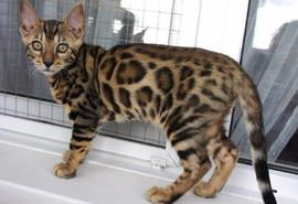 Бенгальские котята леопардового окраса