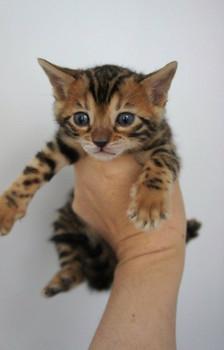 Бенгальские котята леопардового окраса 6