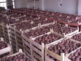 Картофель от Производителя! С Доставкой по Украине! 3