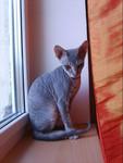 Продаю котенка донского сфинкса