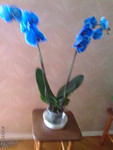Продаю голубой фаленопсис