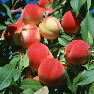 Seedlings of the peach variety Jelgava