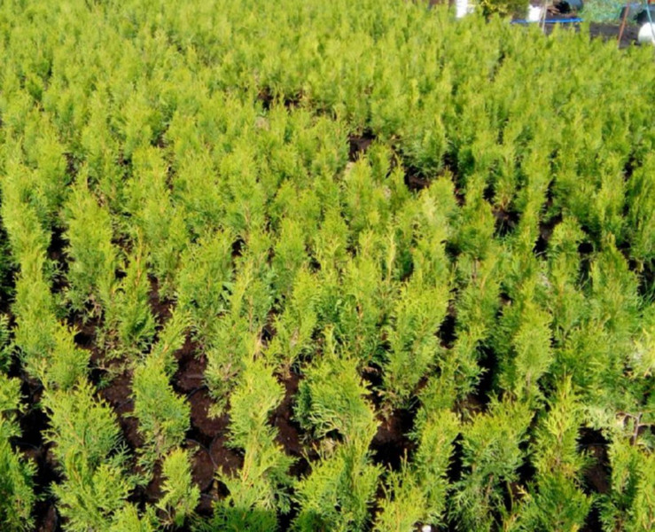 Seedlings Arborvitae wholesale from the manufacturer RB